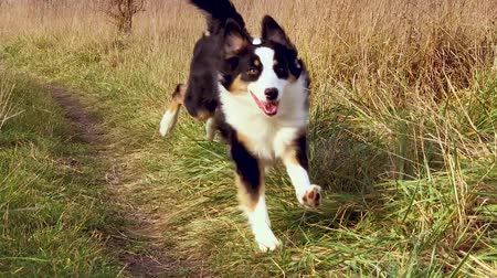 rests : Slow motion - Happy Aussie dog runs in the autumn field. Beautiful Australian shepherd puppy 10 months old enjoy playing on meadow.