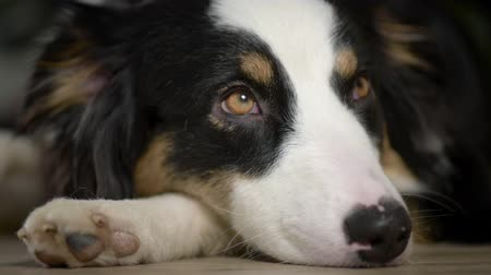 arquejo : Australian Shepherd Dog Sleeping on the floor. Black Tri color Aussie purebred Puppy 11 months old, at home.