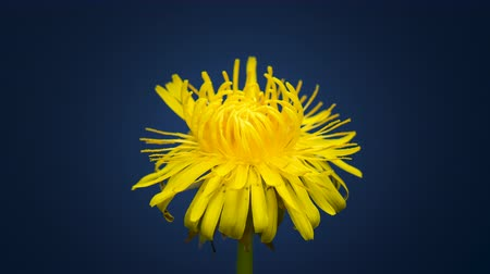 4K Time Lapse of Dandelion Flower open. Yellow Flower head of dandelion disclosed. Macro shot on dark blue background. Timelapse Spring scene in studio. Dostupné videozáznamy