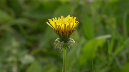 4k Time Lapse of Dandelion Flower open. Yellow Flower head of dandelion disclosed early in morning. Macro shot on Natural background. Timelapse Spring scene on Nature.