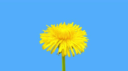 4K Time Lapse of Dandelion Flower open. Yellow Flower head of dandelion disclosed. Macro shot on blue background. Timelapse Spring scene in studio.