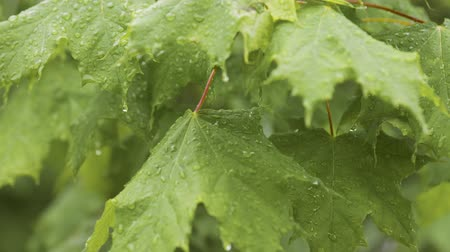 harmatcsepp : Rain days. Raindrops on green maple leaves. Close-up of water droplets on  tree leaves. Wet leaves in summer or spring forest after rainfall.