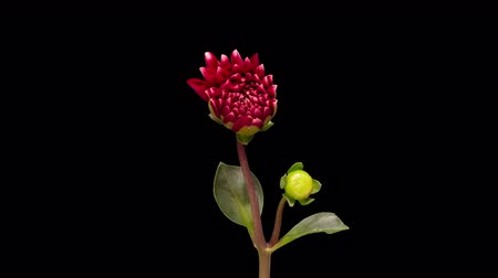 4K Time Lapse of blooming Red Flower. Beautiful Dalia opening up. Timelapse of growing blossom big flower with green leaves on black background.