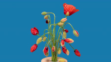 4K Time Lapse of Red Poppy flower bunch. Beautiful spring flowers blossom opening timelapse. Blooming Poppies bouquet on blue background.