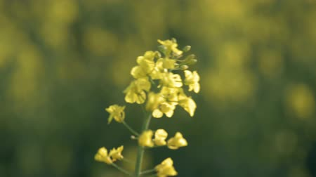 Rapeseed field. Yellow rape oilseed flowers on the field in summer or spring. Closeup of Blooming canola growing in meadow at sunny day. Dostupné videozáznamy