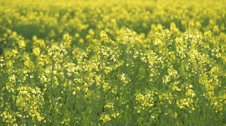 repce : Rapeseed field. Yellow rape oilseed flowers on the field in summer or spring. Blooming canola growing in meadow at sunny day.