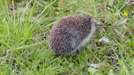 spiny : Common cute hedgehog walking on green grass in spring or summer forest during sunset. Young beautiful hedgehog in natural habitat outdoors in the nature.
