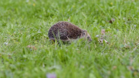 hibernation : Common cute hedgehog walking on green grass in spring or summer forest during sunset. Young beautiful hedgehog in natural habitat outdoors in the nature.