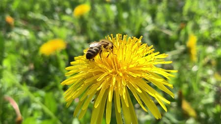 Honey Bee Collecting Pollen of yellow Flower Dandelion. Close up of honeybee flying and gathering flower nectar pollen on sunny spring clear day. Dostupné videozáznamy