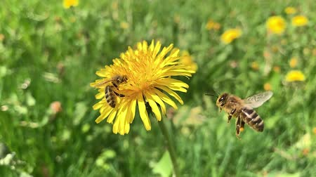 polinização : Slow motion of Honey Bee Collecting Pollen of yellow Flower Dandelion. Close up of honeybee flying and gathering flower nectar pollen on sunny spring clear day.