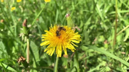 Slow motion of Honey Bee Collecting Pollen of yellow Flower Dandelion. Close up of honeybee flying and gathering flower nectar pollen on sunny spring clear day.