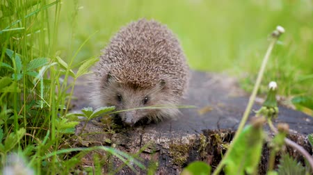 Common cute hedgehog on a stump in spring or summer forest. Young beautiful hedgehog in natural habitat outdoors in the nature.
