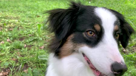 çoban köpeği : Beautiful Australian Shepherd Dog - portrait close-up. Happy Aussie in forest with green grass in summer or spring. Cute dog enjoy at park outdoors.