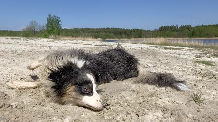 pastore australiano : Dog Having Fun, Wallowing at Beach in Sand. Cute young Australian Shepherd dog Rolling in Sand and Getting Dirty. Dog has breed Aussie wipes his wet coat on the sand. Crazy Funny pets.