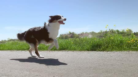 üç renkli : Australian Shepherd dog running very fast on asphalt road with blue sky and with green field in background. Happy young Aussie having fun outdoors. Shoot from camera gimbal stabilizer. Slow Motion.