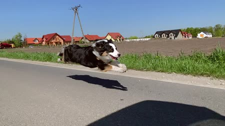 trikolóra : Australian Shepherd dog running very fast on asphalt road with blue sky and with green field in background. Happy young Aussie having fun outdoors. Shoot from camera gimbal stabilizer. Slow Motion.