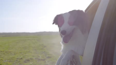 çoban köpeği : Slow motion - curious Aussie Dog sticking his head out car window while driving on green field. Black Tri color Australian shepherd dog enjoying a ride. Funny video with animals.