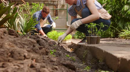 Two gardeners are transplanting seedlings in the open ground from small pots.