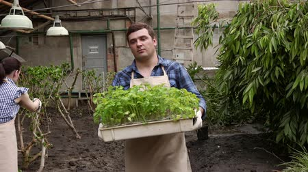 job transfer : Man in greenhouse is carrying tray with seedlings plants to planting. Stock Footage