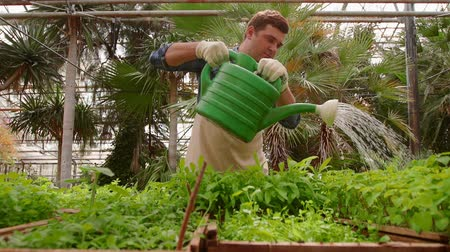 passatempo : Man gardener is working in the garden, watering green seedlings with watering can.