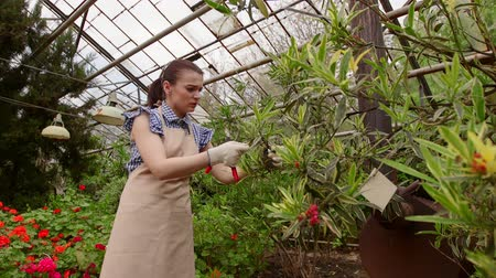 botanikus : Woman gardener with pruning shears in hand caring tree. Gardening in greenhouse.