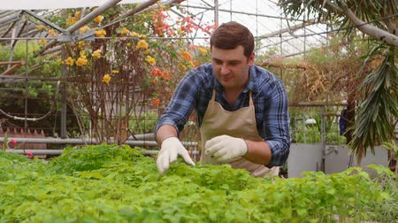 Man gardener inspects leaves of baby plants in greenhouse. Wideo