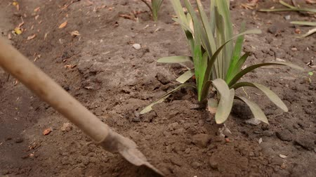 Professional gardener in gloves is loosening the soil around plant with a shovel.