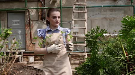 job transfer : Woman gardener is walking in greenhouse with seedlings in handds and choosing a place to plant them.