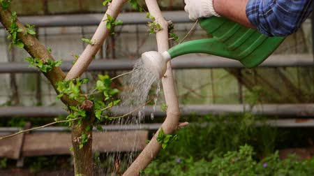 watering can : Gardener is watering plants from a watering can. Stock Footage