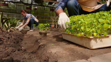 росток : Man and woman gardeners are sorting the seedlings before planting in open ground in greenhouse.