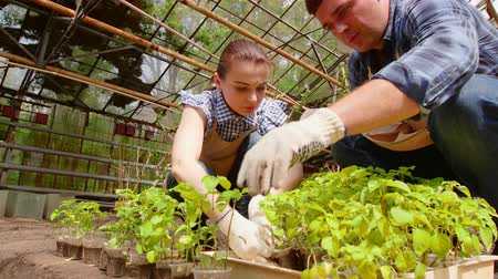 botanikus : Man and woman gardeners are sorting the seedlings before planting in open ground in greenhouse.