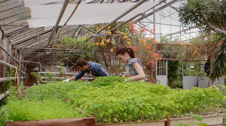 Two professional gardeners are caring for sprouts and seedlings in greenhouse, hands close-up.