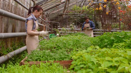 Workers in greenhouse, woman agronomist with tablet inspected seedlings, man gardener is watering plants. Wideo