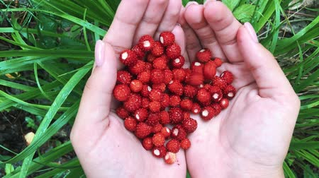 клубника : Young female hands with a handful of ripe strawberries. Healthy organic harvest in the autumn forest.
