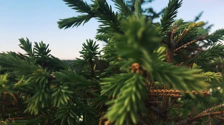 comes : Green pine branch moving in the wind at sunset Stock Footage