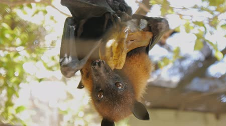 szubtropikus : Close-up shot of megabat eating banana hanging upside down Stock mozgókép