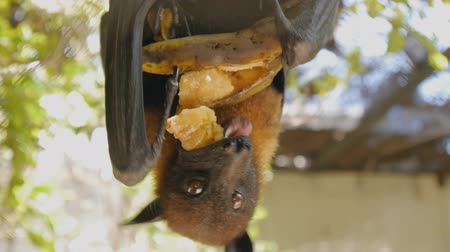 szubtropikus : Close-up shot of fruit bat eating banana hanging upside down