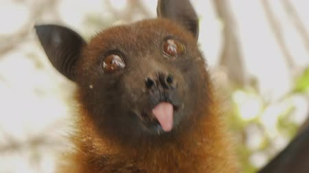 subtropical : Close-up shot of fruit bats head hanging upside down sticking out the tongue and opening the mouth Stock Footage