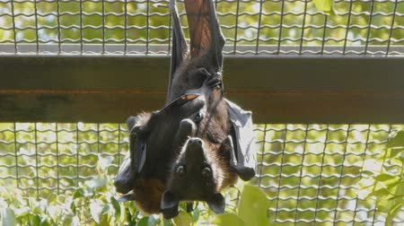 pteropus : Fruit bat with the baby pressed to its body hanging upside down and looking at camera in zoo