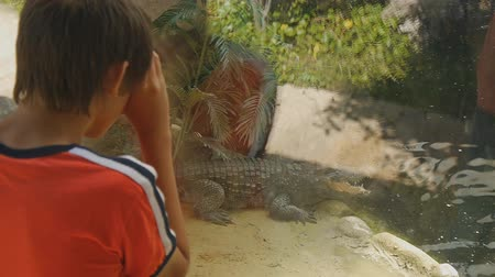 crocodilo : Child visiting the zoo. Caucasian teen boy in red t-shirt looking through the glass at crocodile lying near the water