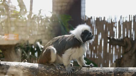 megőriz : Funny cotton-top tamarin looking around sitting on the wooden bar in the zoo Stock mozgókép