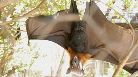 субтропический : Megabat hanging upside down revealing wings and looking at camera in zoo