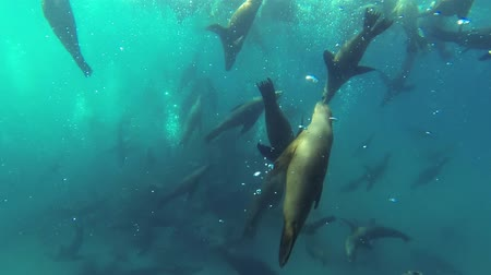 underwater video : Large pod of California sea lions (Zalophus californianus) filmed underwater at Baja California in Mexico