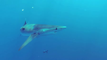 vida selvagem : Beautiful full HD footage of a blue shark Prionace glauca in the deep blue ocean near Baja California Mexico