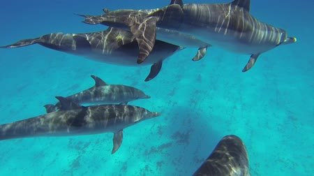 yunus : Beautiful full HD footage of Atlantic spotted dolphins Stenella frontalis in the Bahamas