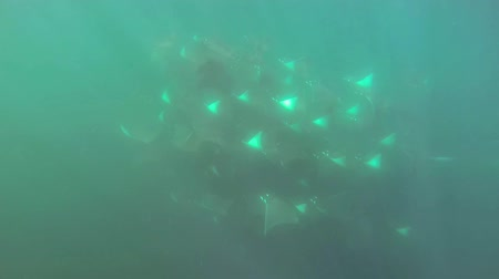 ploutve : Unique Full HD underwater footage of an extremely large school of Mobula Rays near Baja California Mexico