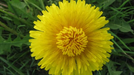 flower : Flower dandelion opening blossom - timelapse video Stock Footage