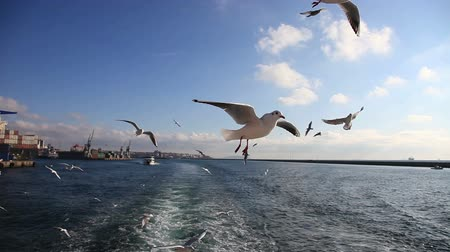 birds flying : seagull following passenger ship Stock Footage