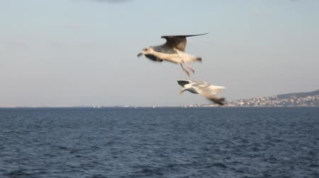 racek : seagull slow motion