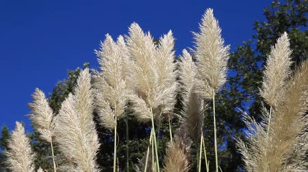 talos : reeds waving in the blue sky